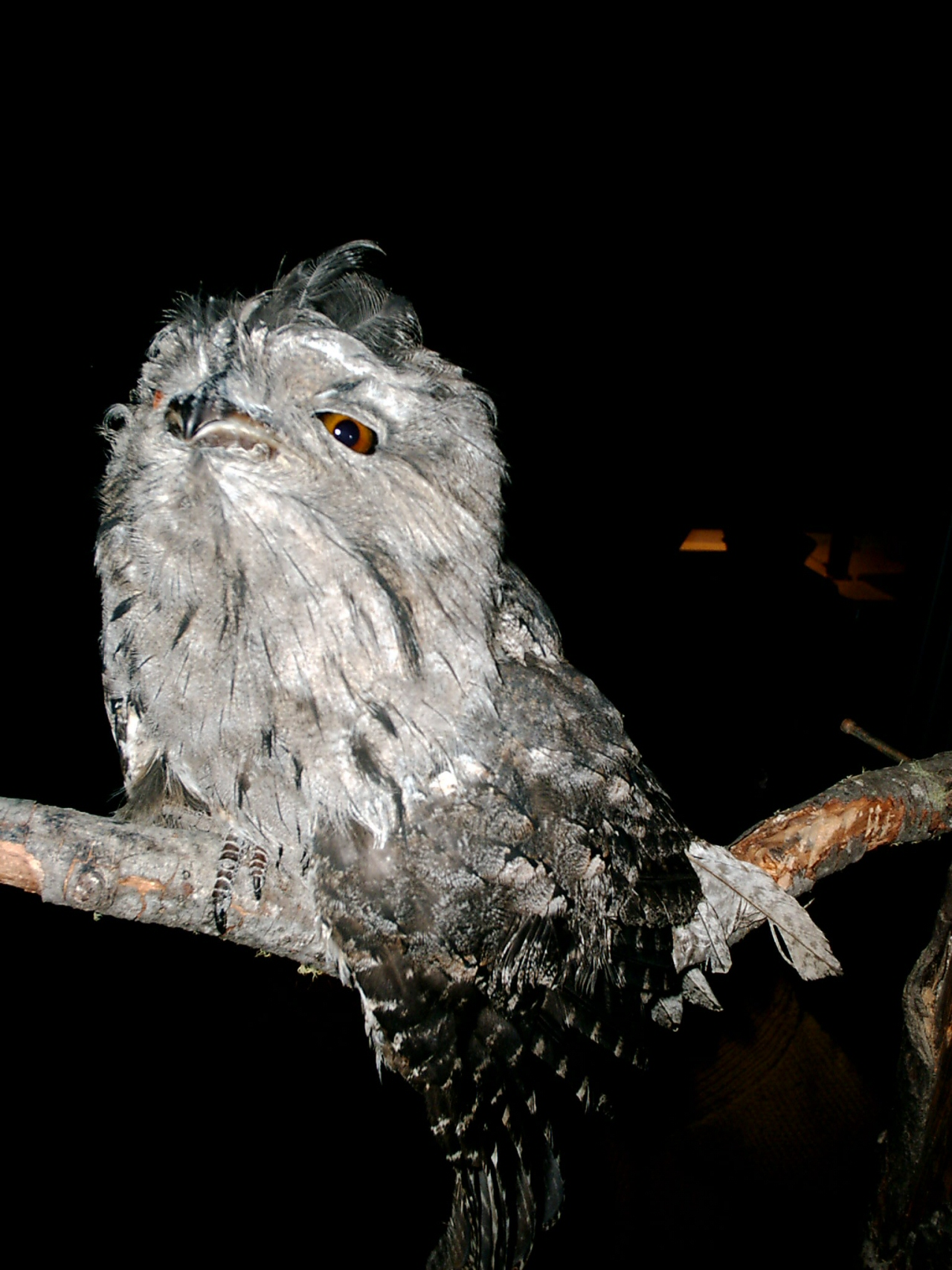Tawny Frogmouth at Huon Bush Retreats