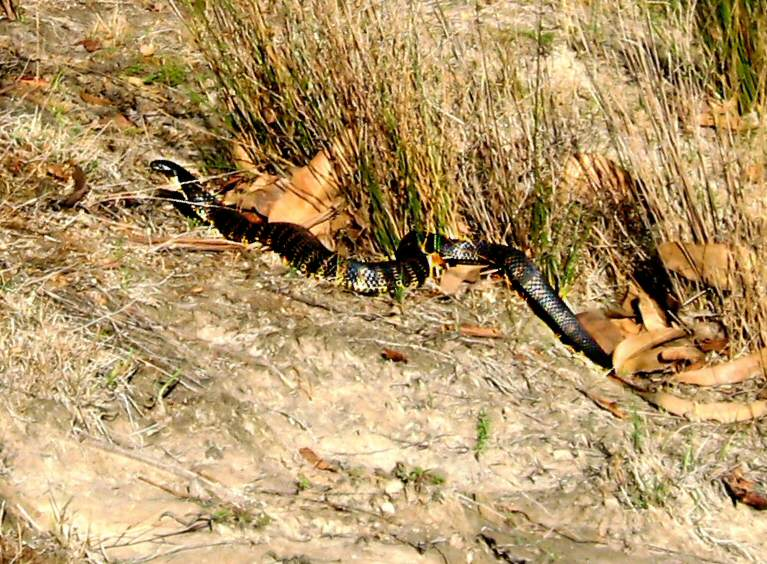 Tiger snake with very clear black and yellow bands