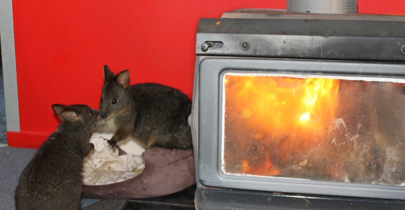 Two Wallabies by fire at HBR