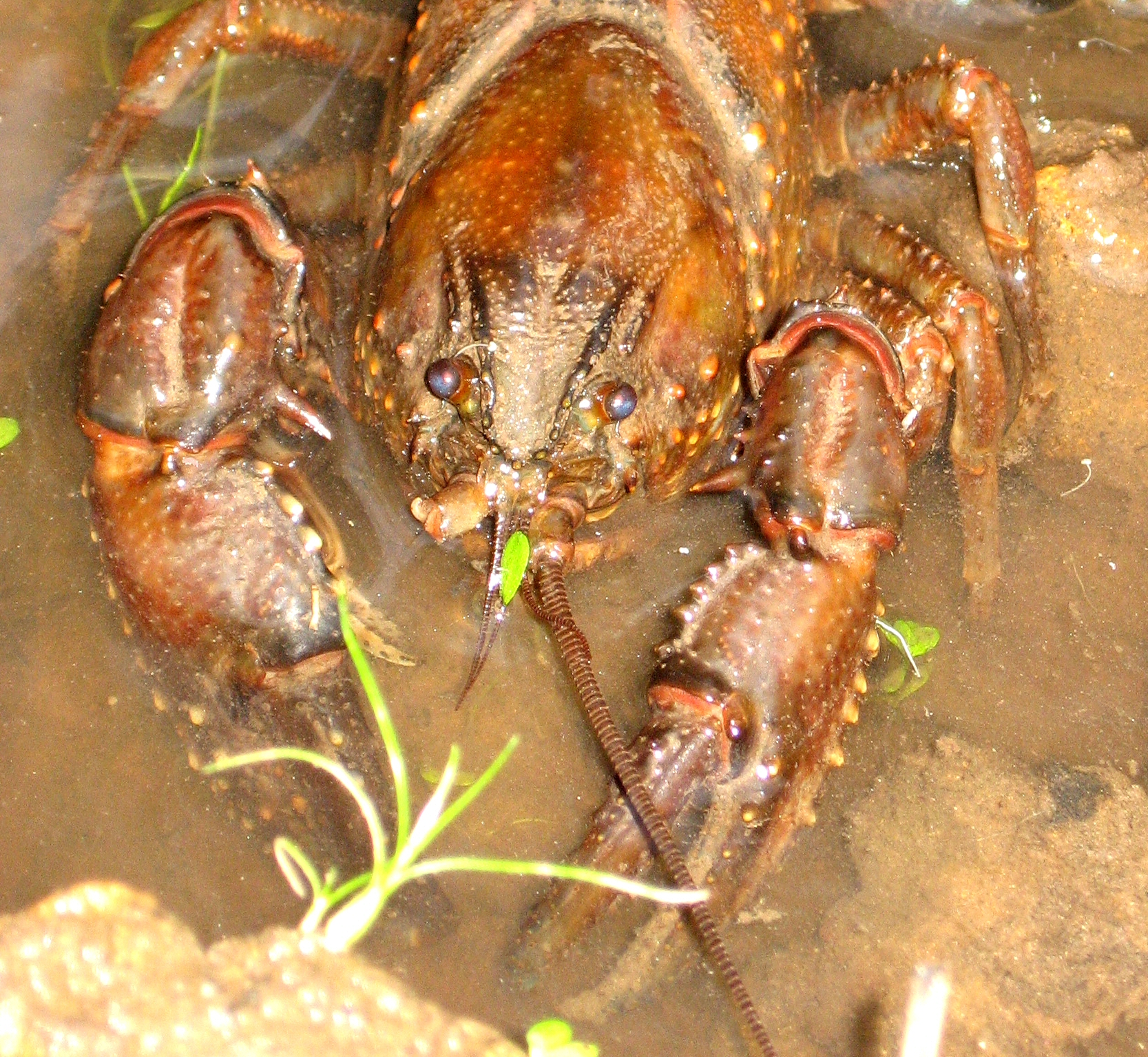 Burrowing crayfish at Huon Bush Retreats