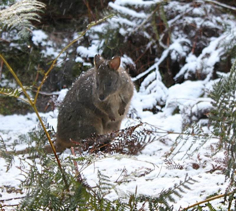 Wallaby in the snow at HBR