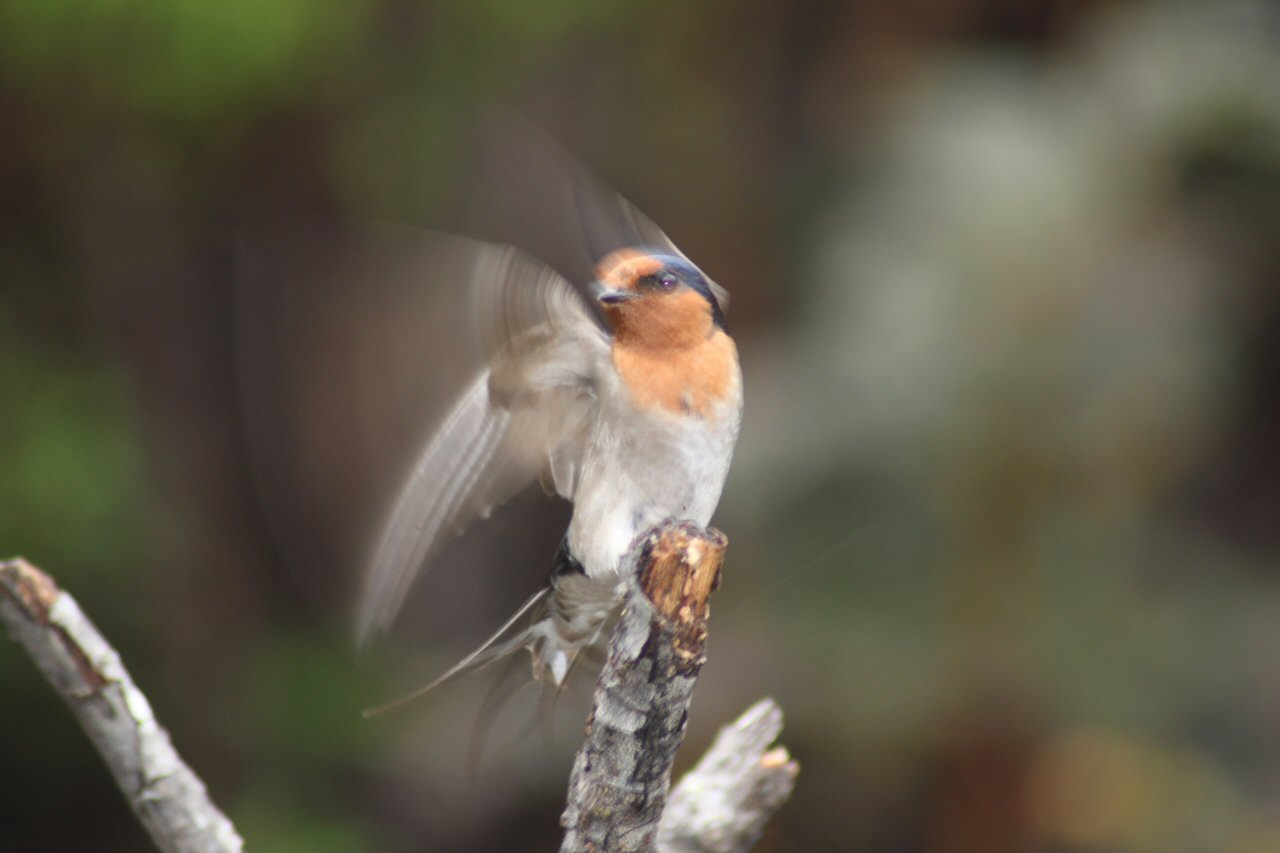 Welcome Swallow at Huon Bush Retreats