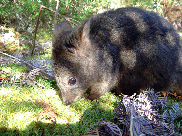 Boof, the Rufous Wallaby