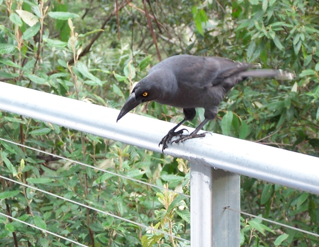 currawong on railing